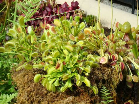how to take care of a venus flytrap venus flytrap care what you need to know venus flytrap center