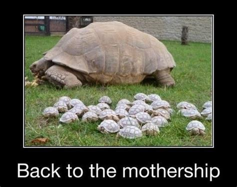 Tortoise Meme - 200 best images about funny turtles on pinterest