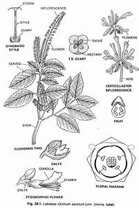 Order Lamiales  Family U2013lamiaceae  An Overview