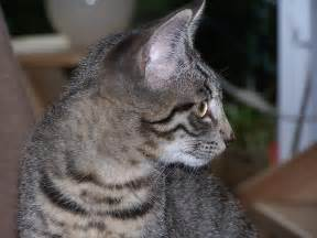 tabby cat pictures file tabby cat 100 4924 jpg wikimedia commons