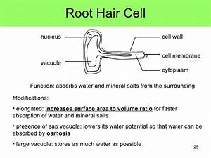 Plant Root Hair Cell