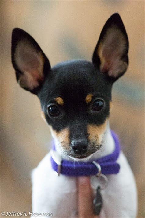 images  miniature fox terriers  pinterest