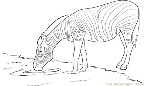 zebra drinking water coloring page  zebra coloring pages coloringpagescom