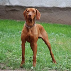 Do Vizsla Dogs Shed Hair by Vizsla Thyroid Disease Information Oxford Labs