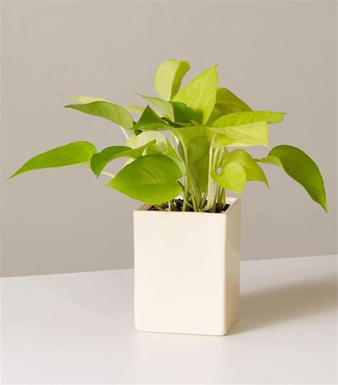 Best Desk Plant by The Best Desk Plants To Breathe New Into Your Space