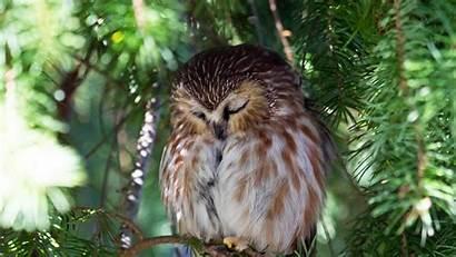 Owl Sleeping Wallpapers Owls Sleep Desktop Backgrounds