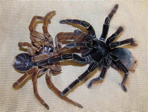 Do Tarantulas Shed Their Fangs by Goliath Spider Spider Amazonian As Big As A