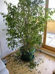 Ficus Benjamini Gelbe Blätter : ficus benjamin verliert alle bl tter pflanzenkrankheiten ~ Watch28wear.com Haus und Dekorationen