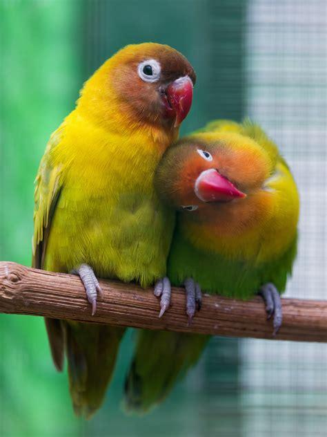 Cuddling lovebirds   Cute picture of two lovebirds ...