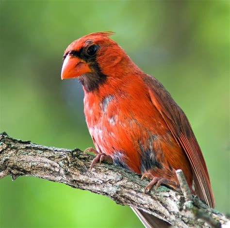 file male cardinal molting jpg