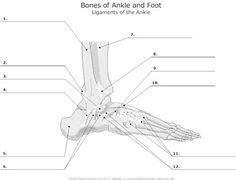 anatomy labeling worksheets bing images esthetics