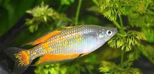Aquarium Fische Süßwasser Liste : fischarten liste der s wasserfische ~ Watch28wear.com Haus und Dekorationen
