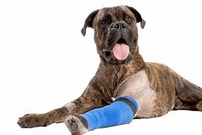 Dog Bandage Boxer Surgery Asc Leg Vet