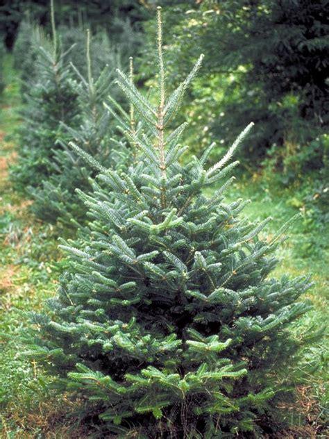 best living christmas tree types hgtv