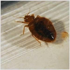 spc bed bugs With bed bug scientific name