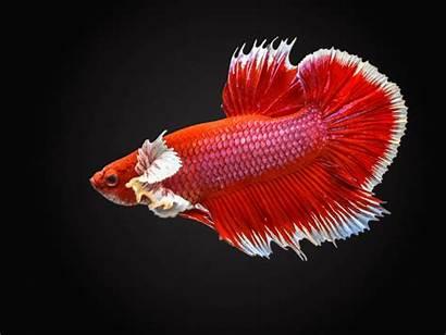 Betta Fish Tank Setup Care Habitat Guide