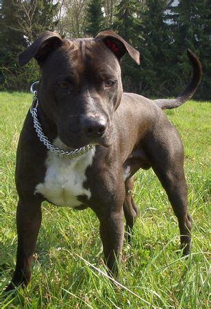 american staffordshire terrier facts  kids