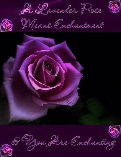 Rose Lavender Means Roses Enchanting Enchantment Flowers