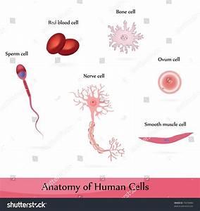 Human Cells Anatomy Muscle Bone Nerve Stock Vector