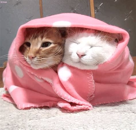 snuggle chair cats gifs find on giphy