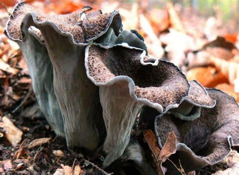 craterellus cornucopioides cz biolib funghi erboristeria plenty horn