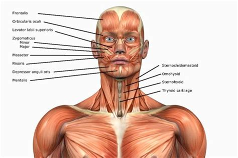 Click on the name of the muscle, or the image, to see weight training exercises. Human Anatomy Muscles: How Muscles Are Named & Why | Body ...