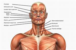 Human Anatomy Muscles  How Muscles Are Named  U0026 Why