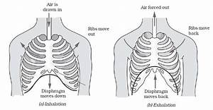 What Is The Function Of The Diaphragm In The Respiratory System