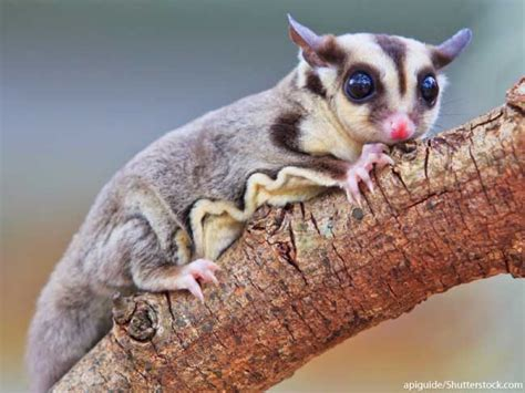 sugar glider sugar glider facts for information with pictures