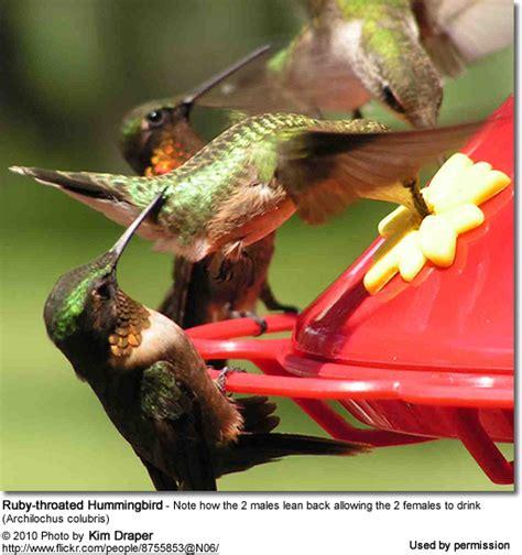 ruby throated hummingbirds diet feeding beauty of birds