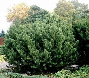 pin nain planter et entretenir ooreka With modeles de rocailles jardin 8 thym planter et tailler ooreka