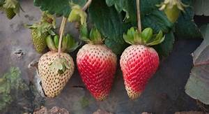 How Do Strawberry Plants Reproduce