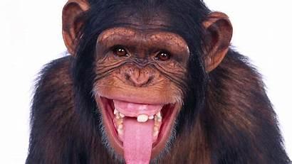 Tongue Funny Showing Cow Chimpanzee