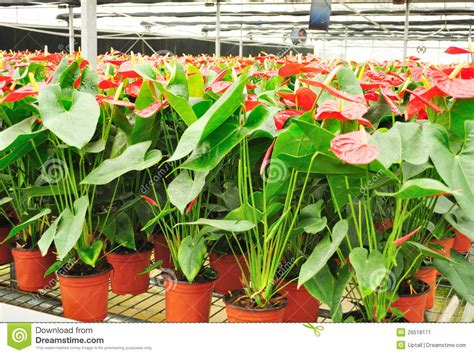 anthurium greenhouse stock image image of botanic garden 26518171