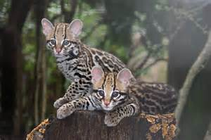 ocelot cat ocelot kittens spotted at greenville zoo zooborns