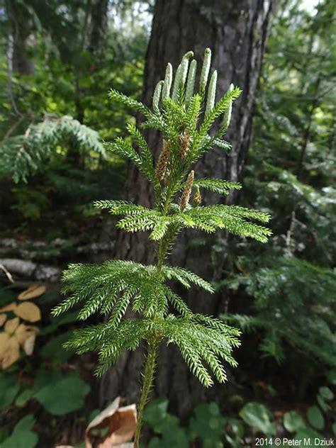 dendrolycopodium dendroideum tree clubmoss minnesota