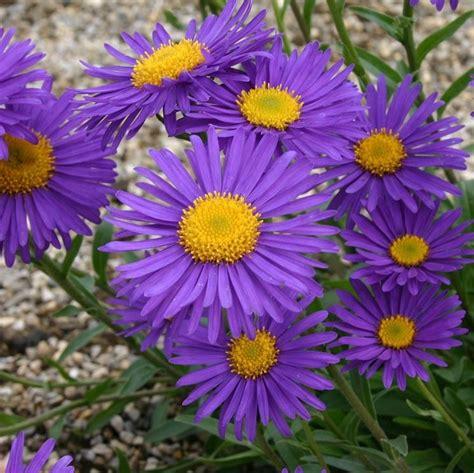 aster fiori astro delle alpi aster alpinus aster alpinus perenni