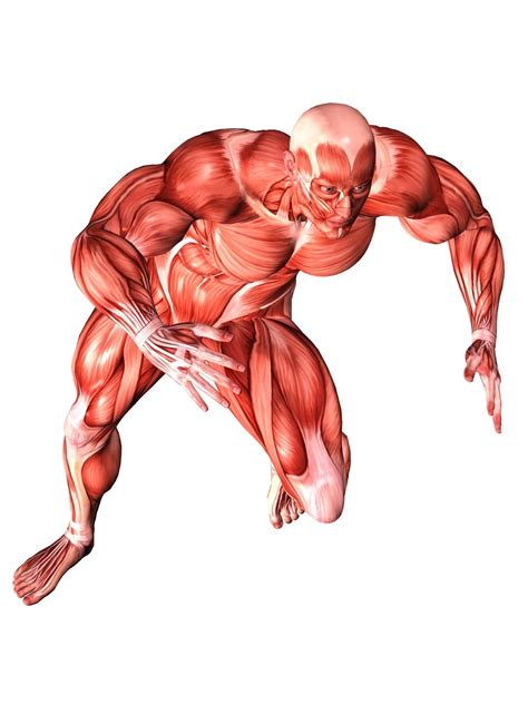 Muscular System Images 538las17