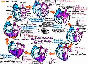 Hanson U0026 39 S Anatomy Vibrant Medical School Notes  U0026 Study