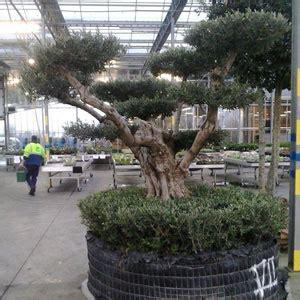 taille d un olivier en pot olivier centenaire niwaki olivier centenaire taille