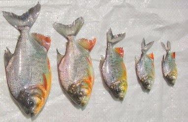 Benih Ikan Bawal Blitar cara pembenihan budidaya ikan bawal alam ikan