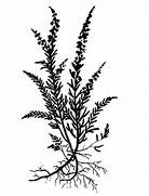 Heather Plant Drawing ...