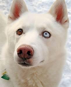 White Siberian Husky Duke | Pet Paintings | Pinterest ...