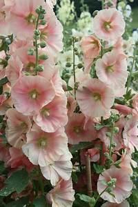 Blumenbeet Gestaltung Mehrjährig : die besten 25 stockrosen ideen auf pinterest wildblumeng rten roundup ultramax und ~ Eleganceandgraceweddings.com Haus und Dekorationen
