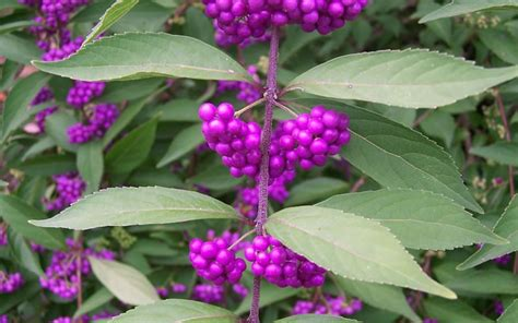 shrubs with purple berries buy issai purple beautyberry bush callicarpa dichotoma issai 1 gallon beautyberry shrubs