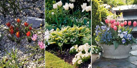 tulipes planter cultiver et entretenir promesse de fleurs