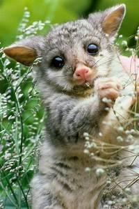 marsupial | Marsupial and Monotreme | Pinterest