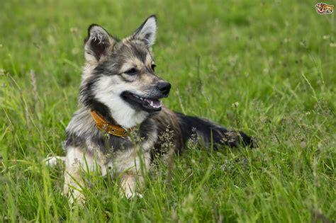 finding     swedish vallhund dog breed