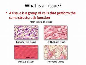 Body Tissues Powerpoint And Worksheet