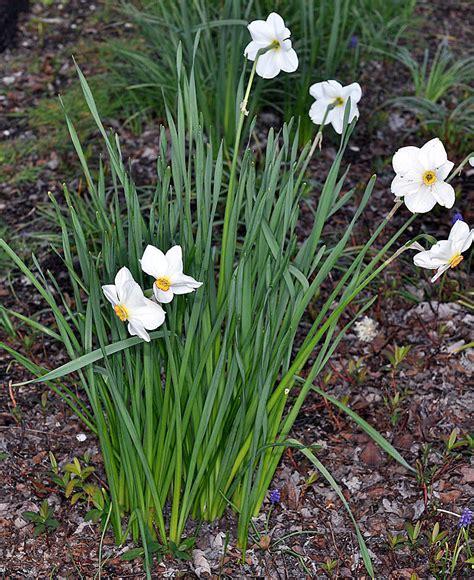 narcissus poeticus poet s daffodil go botany